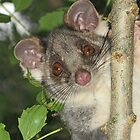 Ring Tailed Possum by Jenny Brice
