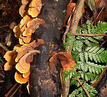 Fungi And Fern Frond,Minnamurra Rainforest,Budderoo National Park, Australia. by kaysharp