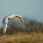 Snowy Owl by Wayne Wood