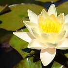Yellow Water Lily by Emma Holmes