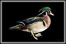 Wood Duck by KBritt
