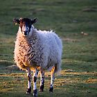 Sheep at Sunset by Paul Collin