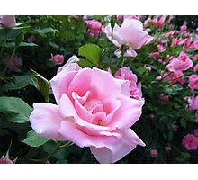 Roses, pink Photographic Print