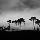 Canford Heath Pine Ridge by swandundee