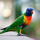 Rainbow Lorikeet by Mark Goodwin