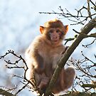Young Barbary Monkey  by Elaine123