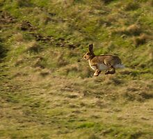 Irish Hare by Jon Lees