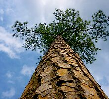 looking up the pine tree by Jonathan Green by Jonathan  Green