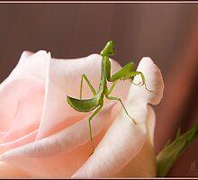 Baby Praying Mantis on a Pink Rose by Chris Cohen
