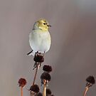 American Goldfinch on Seed Heads by Bill McMullen