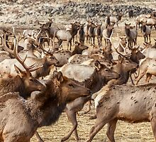 Elk on the Move by Jim Stiles
