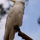 Proud Cockatoo posing.. Sulphur Crested Cockatoo by Reneefroggy