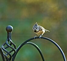Crested Tit by Jamie  Green