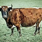 Glamorgan Cow - Margam Breed by digihill