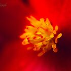 A Burst of Red - Begonia by Yannik Hay
