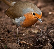 Robin Redbreast by Adam  Barstow