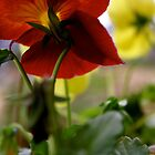 Red Pansy by erindobo