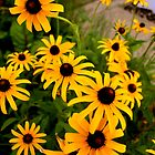 Black Eyed Susan by erindobo