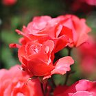 Red Roses in Bloom by BPhotographer