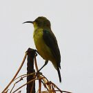 Sun Bird (Gambia) by Hovis