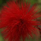 Red Fluff by Tamie Buffington