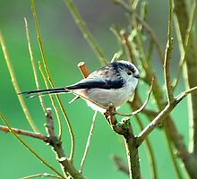 Long-Tailed Tit by Russell Couch