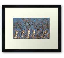 Blue Jays (Without the Blue) Framed Print