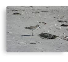 Shorebird Amongst the Seaweed Canvas Print