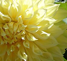 Zoom on Beauty - Yellow Dahlia by Jane Neill-Hancock