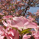 Beautiful Spring Fine Art Photography Pink Dogwood Flowers by BasleeArtPrints