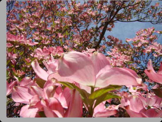 Beautiful Spring Fine Art Photography Pink Dogwood Flowers by BasleeArtPrints