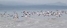 Take Off !  Flamingos at Lake Nakuru, Kenya by Carole-Anne