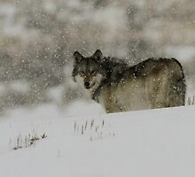 Winter Wolf #3 by Ken McElroy