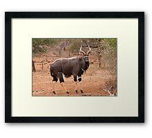 Nyala, Kruger National Park, South Africa Framed Print