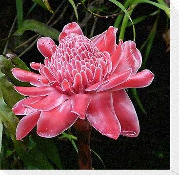 Red Torch Ginger Lily by Trish Meyer