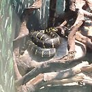 London Zoo/Reptile House/Snake(2 of 2) -(190212)- digital photo  by paulramnora