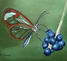 Glasswing Butterfly Feeding by John Morrison