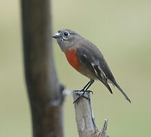 Scarlet Robin checking me out  by Ron Co