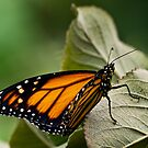 Brand-new monarch by Celeste Mookherjee
