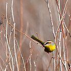 Rufous-capped Warbler dexterity by levipie