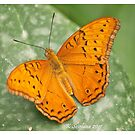 orange butterfly 2 by bluetaipan