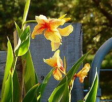 Yellow Canna Lilies by JudyDarcy