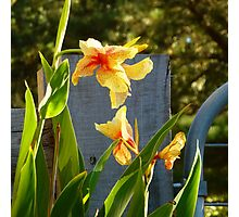Yellow Canna Lilies Photographic Print