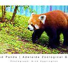 The Red Panda : Adelaide Zoological Gardens by Nick Egglington