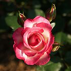 Two Tone Rose by Ross Campbell