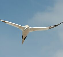 Floating on the updraft, Saltee Islands, County Wexford, Ireland by Andrew Jones