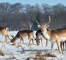 Stags feeding by cameraimagery