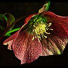 Hellebore by Wendi Donaldson