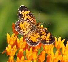 Pearl Crescent on Butterfly Weed Flowers 1 by Robert E. Alter / Reflections of Infinity, LLC