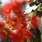Flowering Gum. by glenlea